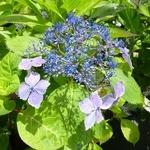 Hydrangea macrophylla Mariesii Lilacina