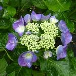 Hydrangea macrophylla Nachtigall