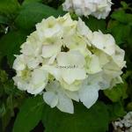 Hydrangea macrophylla Nymphe (1)