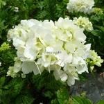 Hydrangea macrophylla Pirouette (1)