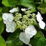 Hydrangea macrophylla Sandra