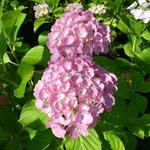 Hydrangea macrophylla Big Mama