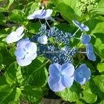 Hydrangea macrophylla Blauling
