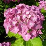 Hydrangea macrophylla Deutschland (4)