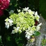 Hydrangea macrophylla Coco (2)
