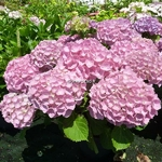 Hydrangea macrophylla Early Sensation (1)