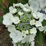 Hydrangea macrophylla Blanc Bleu (1)