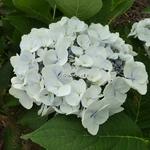 Hydrangea macrophylla Blanc Bleu (2)