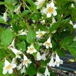 Abelia spathulata (1)