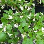 Abelia spathulata (2)