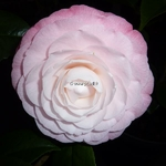 Camellia Desire (3)