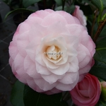 Camellia Desire (7)