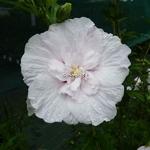 Hibiscus syriacus China Chiffon (3)
