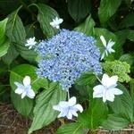 Hydrangea macrophylla Izu no hana (2)