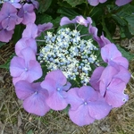 Hydrangea macrophylla Moeve