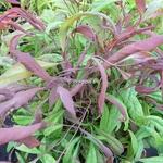 Nandina domestica Pygmaea (6)