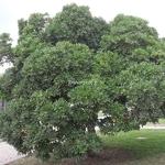 Pittosporum tobira (2)