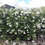 Solanum laxum Album (2)