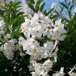 Solanum laxum Album (10)
