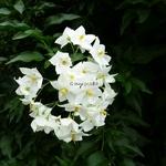 Solanum laxum Album (6)