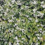 Trachelospermum jasminoides (1)