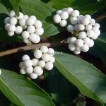 Callicarpa japonica Leucocarpa (3)