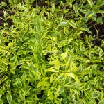 Abelia grandiflora White Gold (7)