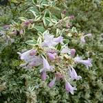 Abelia grandiflora White Gold (3)