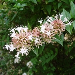 Abelia chinensis (2)