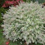 Abelia Confettii (6)