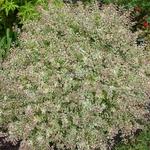 Abelia Confettii (3)