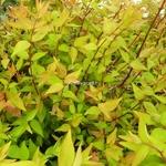 Abelia grandiflora Boule de Feu (1)