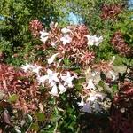 Abelia grandiflora (1)