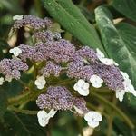Hydrangea aspera Sargentiana (3)
