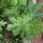 Ficus carica Brown Turkey (2)