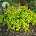 Kolkwitzia amabilis Aurea