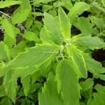 Caryopteris clandonensis Aureomarginata (1)