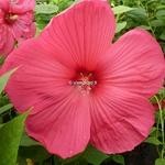 Hibiscus moscheutos ROUGE (2)