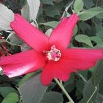 Hibiscus palustris Rubra