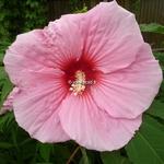 Hibiscus x moscheutos Summer Storm