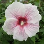 Hibiscus x moscheutos Kopper King
