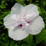 Hibiscus syriacus China Chiffon (1)