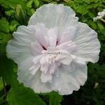 Hibiscus syriacus China Chiffon (2)
