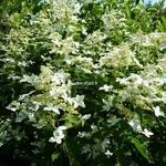 Hydrangea paniculata Starlight