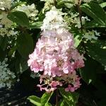 Hydrangea paniculata Fraise Melba