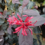 Loropetalum chinense Ever Red