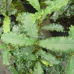 Photinia serratifolia Crunchy (1)