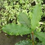 Photinia serratifolia Crunchy (2)
