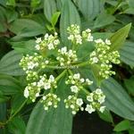 Viburnum davidii (1)