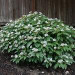 Viburnum davidii (4)